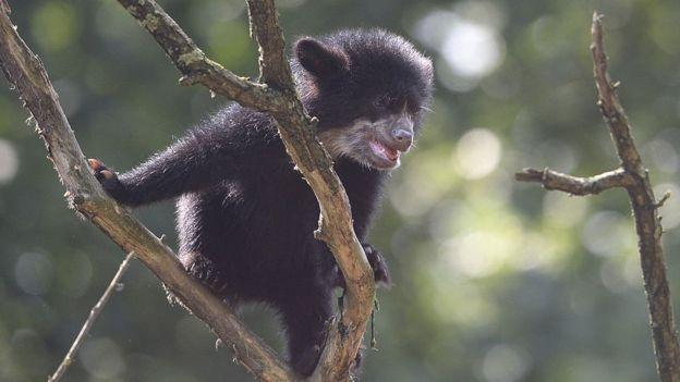 O urso andino, fotografado em um zoológico na Alemanha, é o único urso nativo da América do Sul.jpg