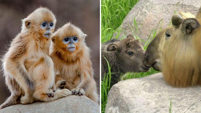 O macaco-dourado de nariz arrebitado (à esquerda) e a cabra gnu, ou Takin (à direita), estão na lista.jpg