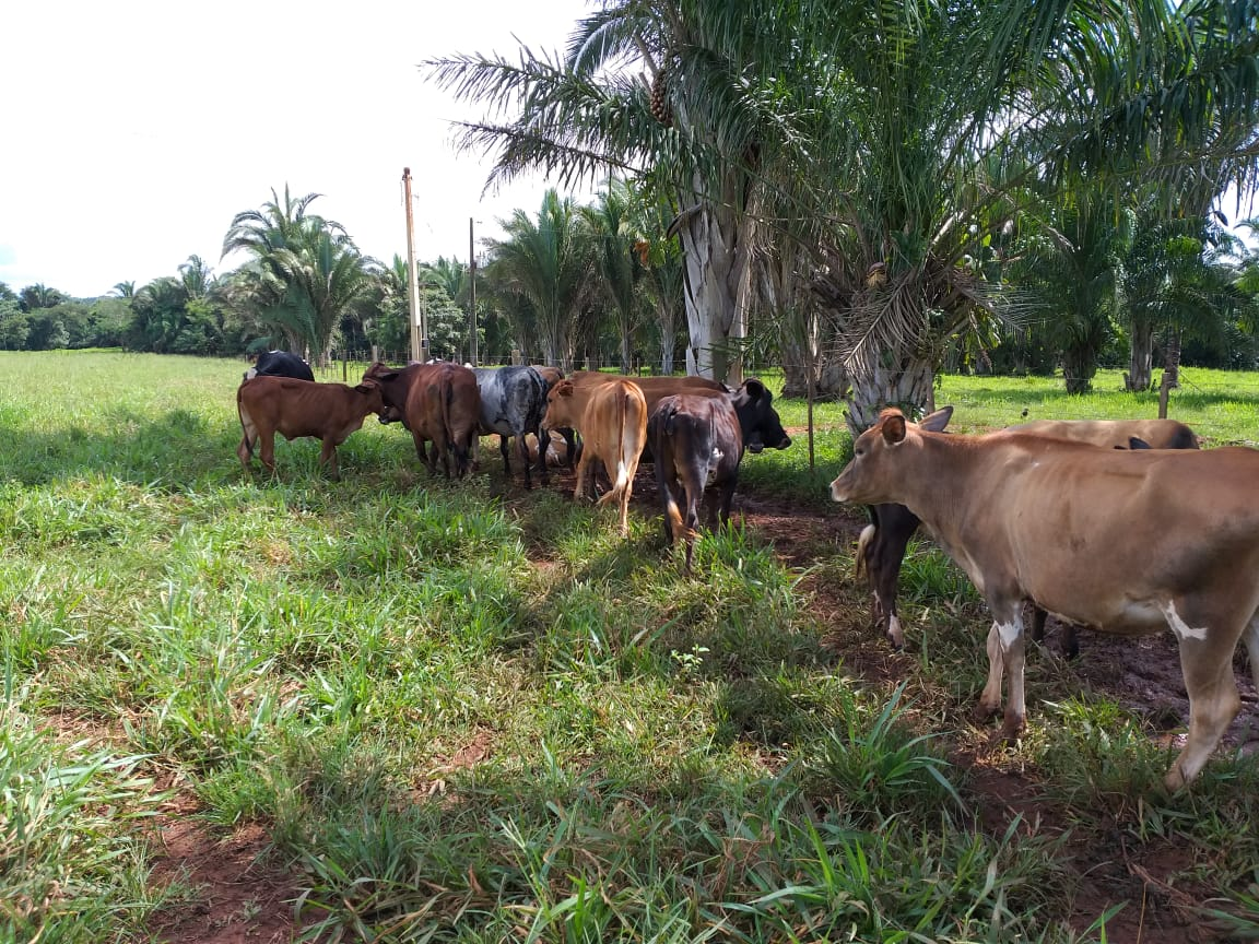 Com 34 animais a produção atinge 100 litros de leite dia
